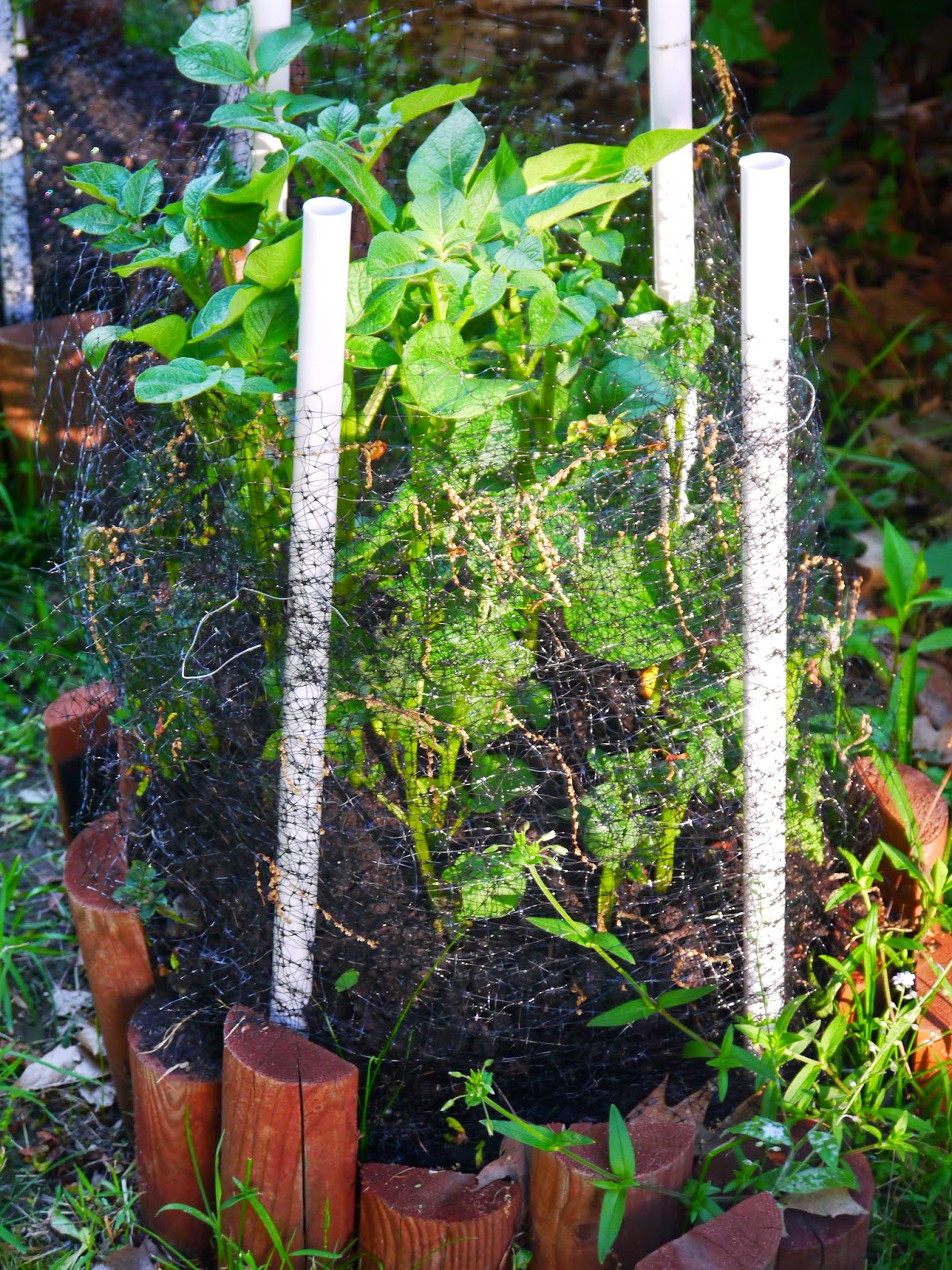 how to grow blueberries do blueberries need to be pruned