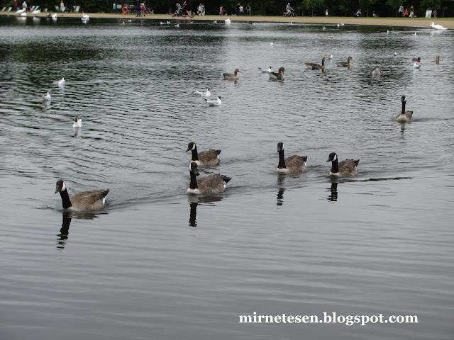 Лондон - пруд с утками между Кенсингтонскими садами и Гайд-Парком