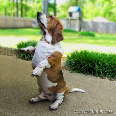 Bassets can sit up perfectly straight