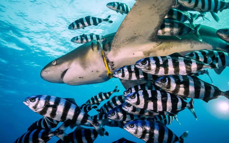Tubarão com coleira de plástico