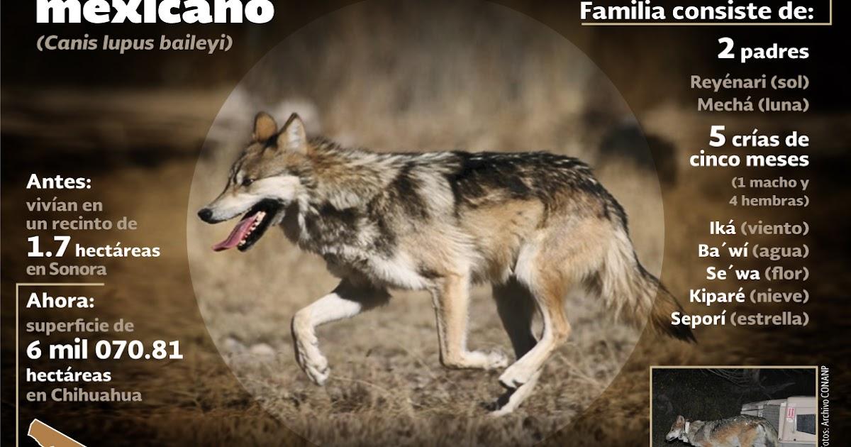 Rehabilitación Del Lobo Gris En Proceso: Libera La CONANP 7 Ejemplares De Lobo Gris Mexicano