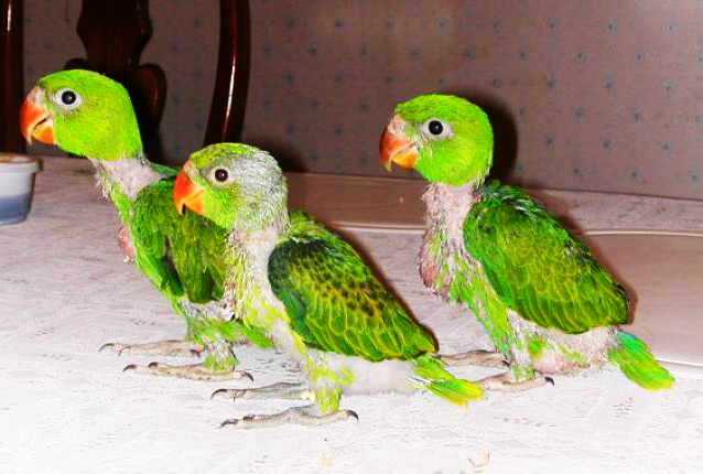 Lovebirds Pet Toys