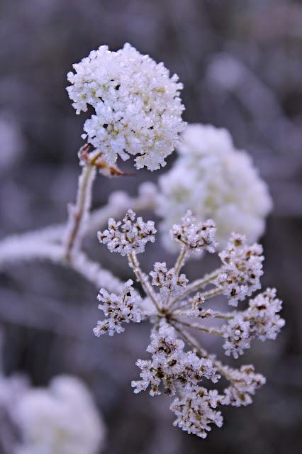 mráz kvety