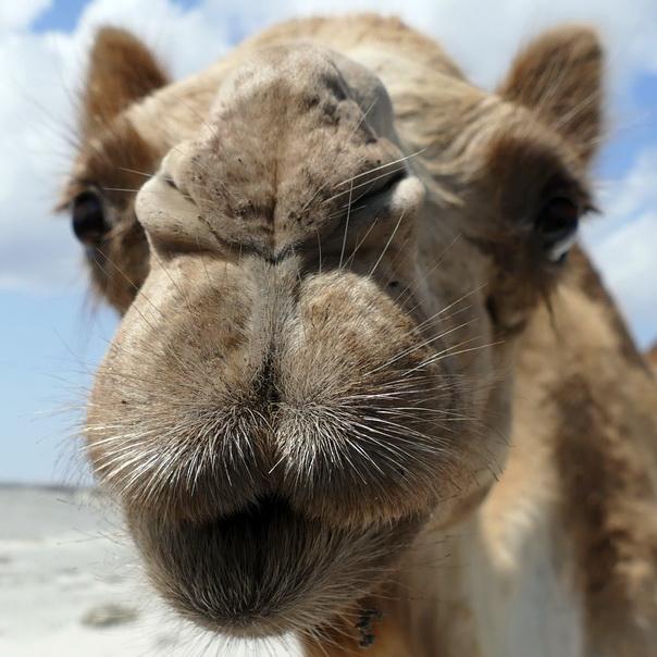 Dromedar, Kamel, Schnauze, Augen, Gesicht, nahe, Oman, neugierig