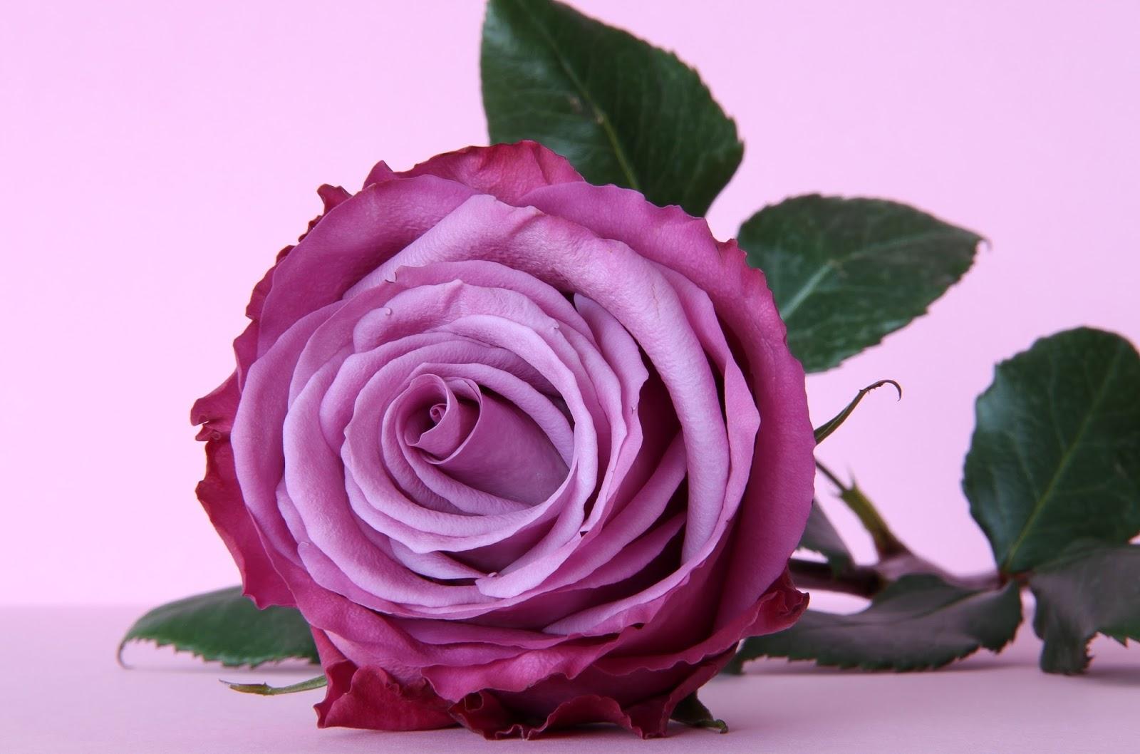 Beautiful Roses HD Desktop Wallpapers In 1080p