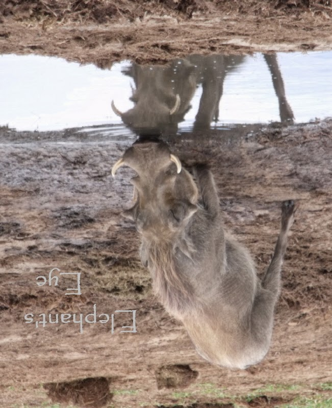 Disconcerted? Look at my watermark Warthog drinking