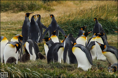 King Penguin Colony, Tierra del Fuego Island.