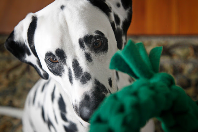 Dalmatian dog looking at a green woven fleece dog tug toy