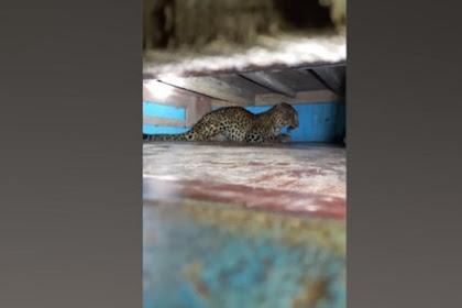 Satu keluarga Ketakutan Saat Temukan Macan Tutul di Bawah Tempat Tidur