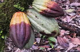 cara mengatasi busuk buah kakao