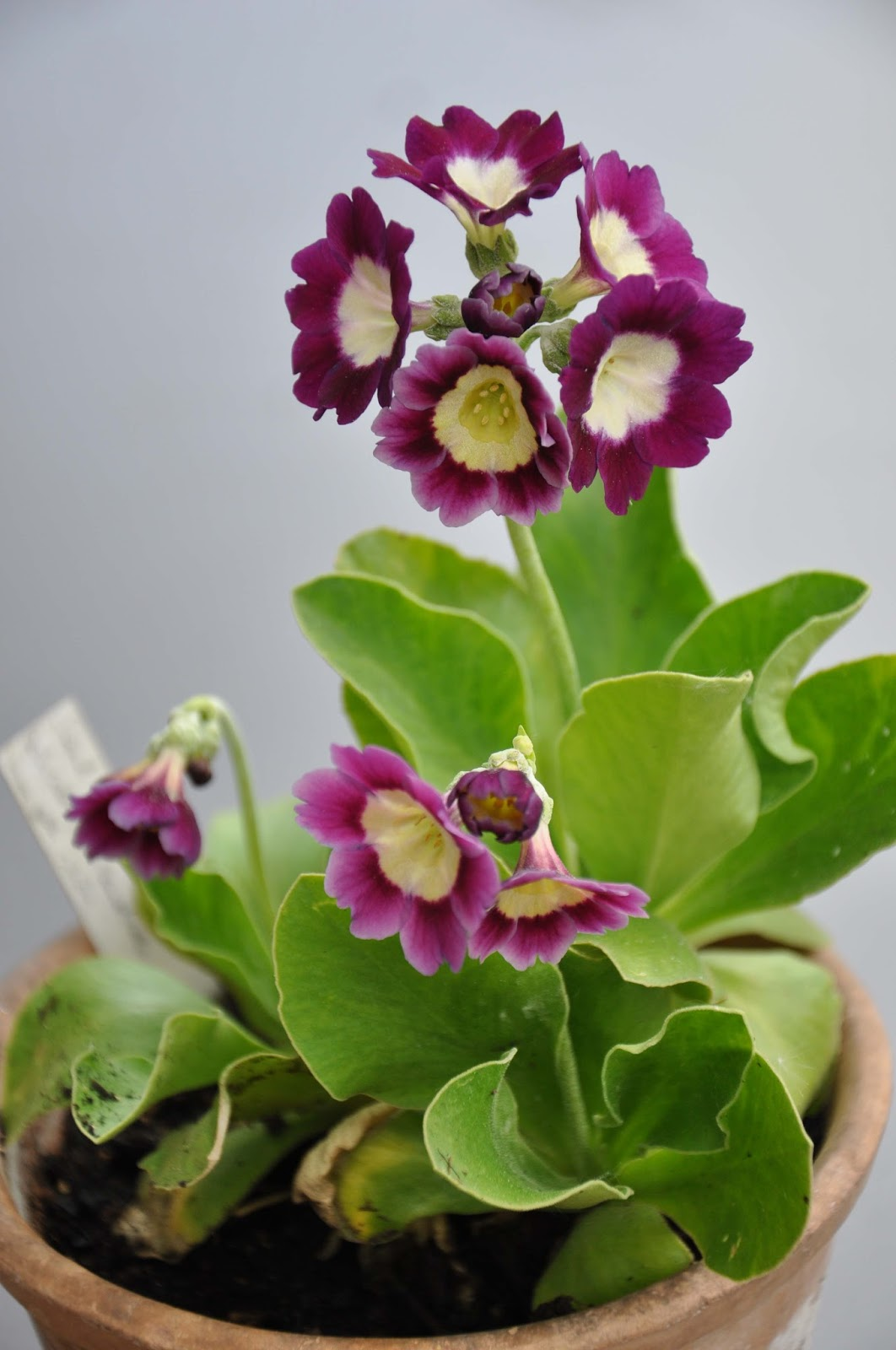 Sweden's auricula club: some of andreas's auricula collection in ...
