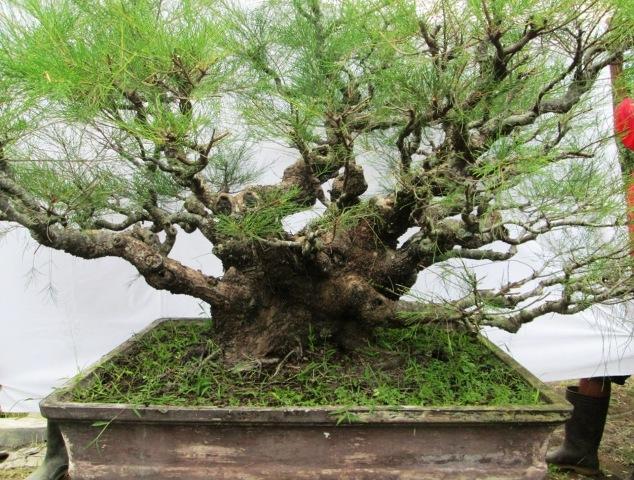 Casuarina equisetifolia / Pinheiro Australiano / Pinheiro ...