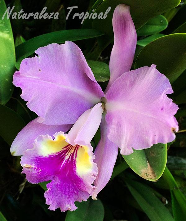 Flor de la orquídea Cattleya lueddemanniana