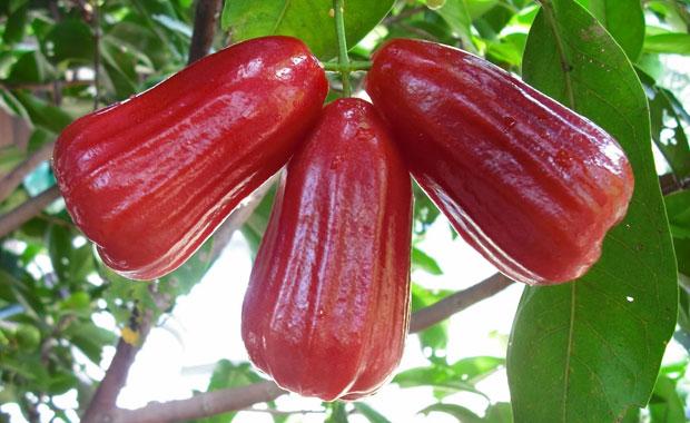 jambu madu kesuma merah