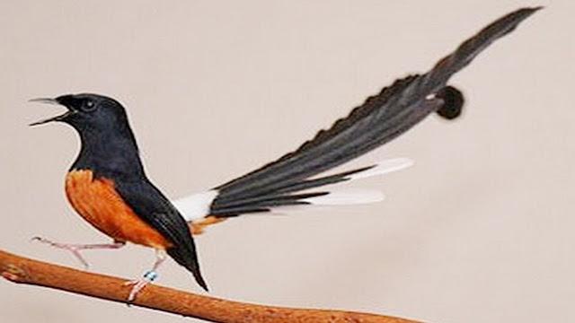 masteran suara burung murai