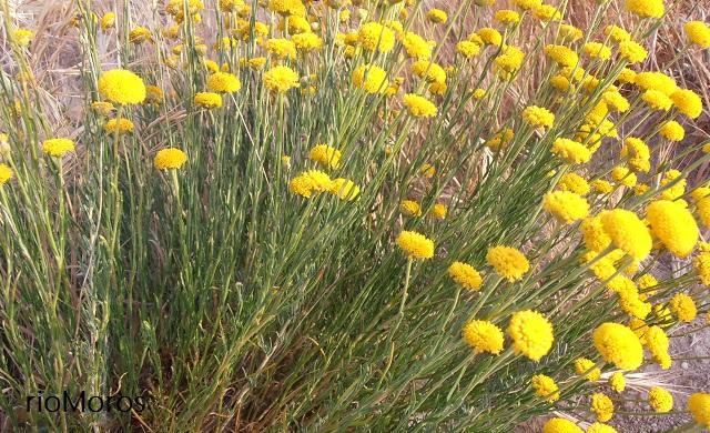 Flores de botonera o abrótano Santolina rosmarinifolia