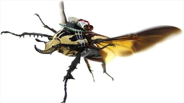 Conozcan a escarabajos convertidos en cíborgs voladores