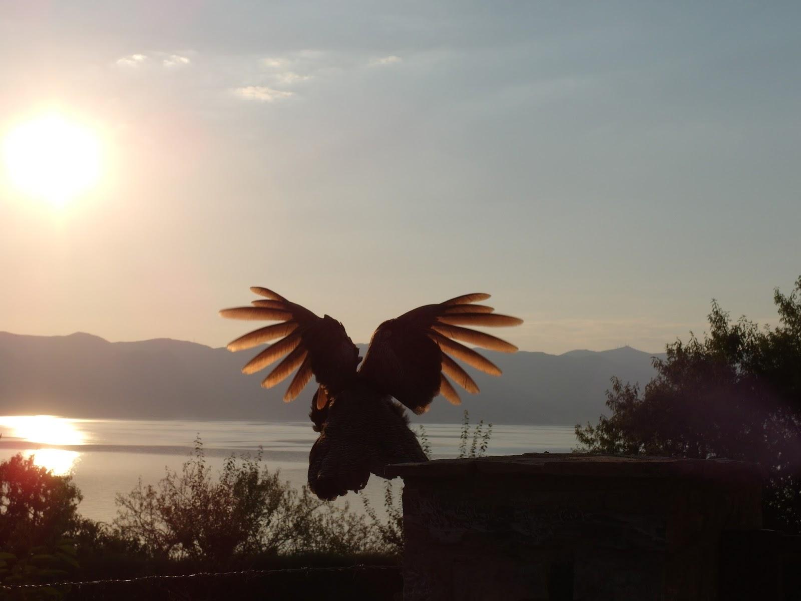 Letící páv při západu slunce