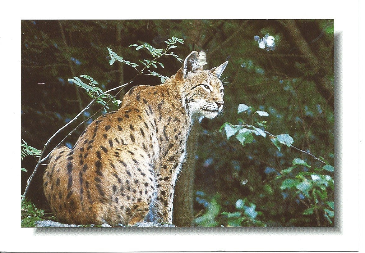 MY POSTCARD-PAGE: GERMANY ~ The Lynx - Harz National Park