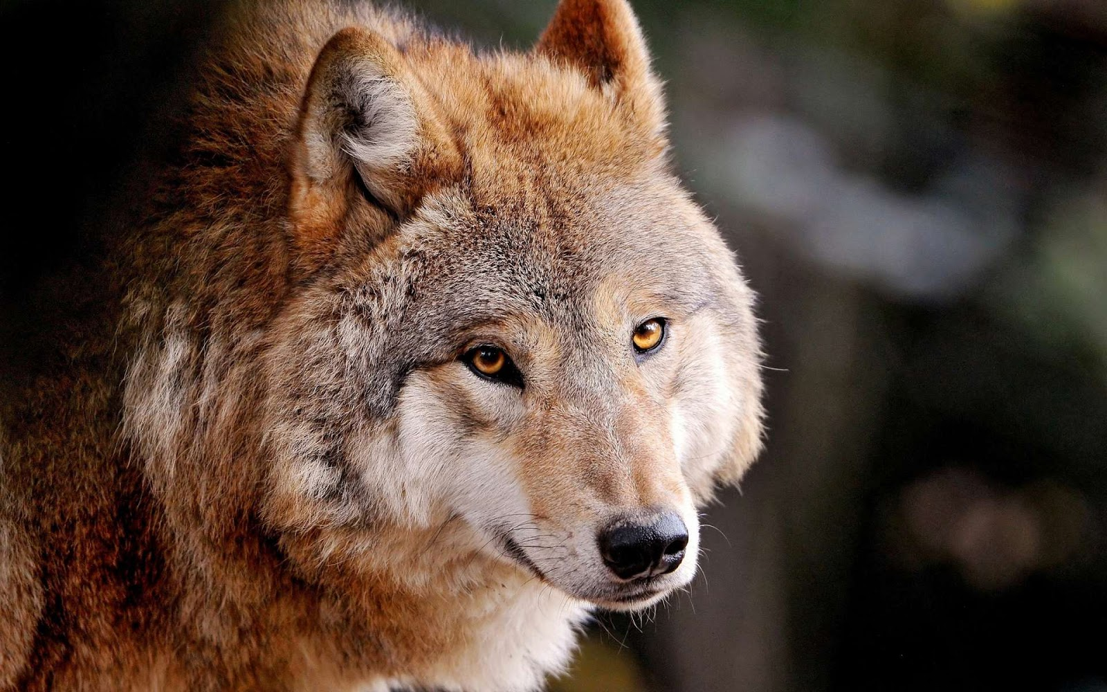 wolf wallpapers brown hd animal wolves animals friendly wild backgrounds eyes grey flickr golden beauty desktop