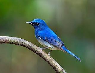 Tips Dan Cara Merawat Burung Anis Biru Paling Lengkap Agar Cepat Gacor