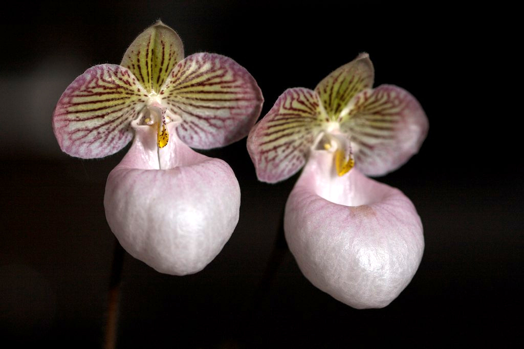 Grow And Care Paphiopedilum Micranthum Orchid The Tiny Flowered
