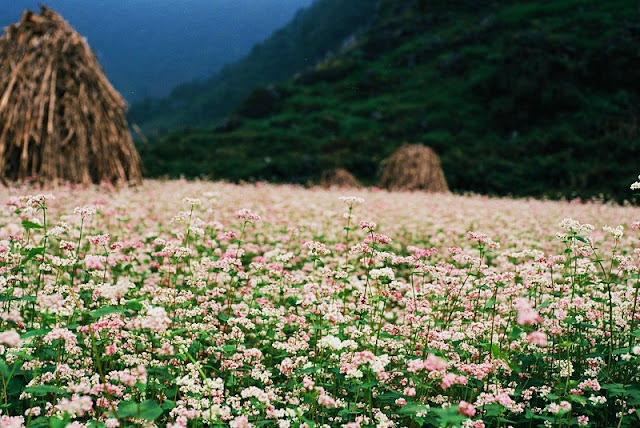 Ha Giang is the most beautiful in Buckwheat flower season