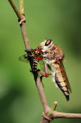 macrophoto insecte