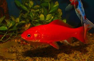 jenis ikan mas komet merah