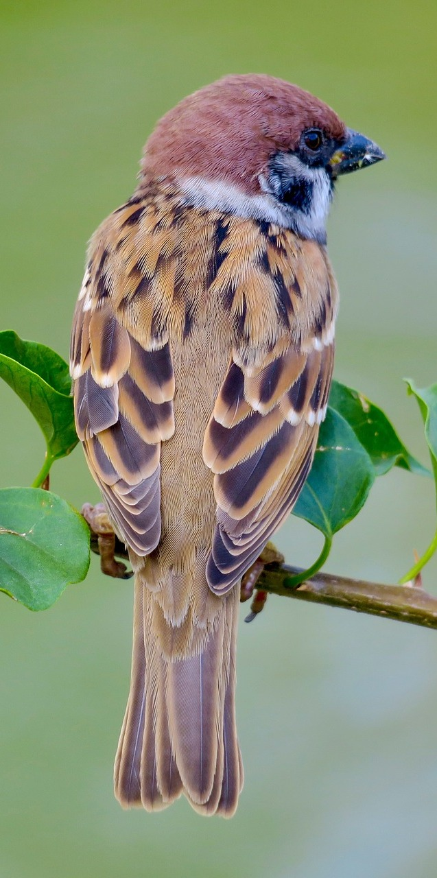 Picture of an lovely sparrow.