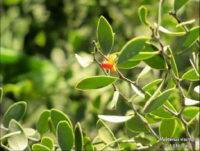 Maytenus viscifolia