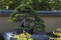 Tradición y respeto por los árboles -Pino Blanco Japonés