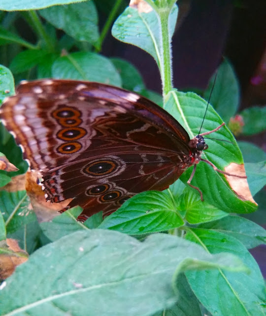 Possibly a blue morpho butterfly