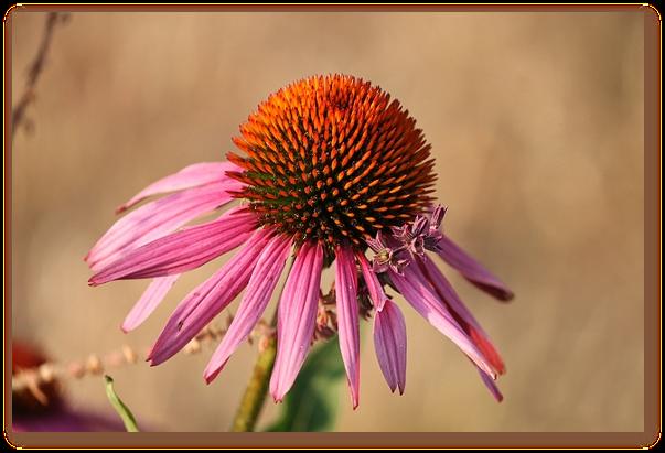 Echinacea previne raceala?
