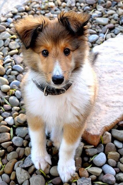 Collie puppy! Pam and Pete are getting on a waiting list for one of these sweet nuggets!