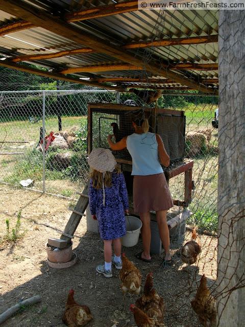 harvesting eggs at Blenheim Organic Gardens