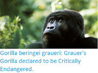 http://sciencythoughts.blogspot.co.uk/2016/10/gorilla-beringei-graueri-grauers.html