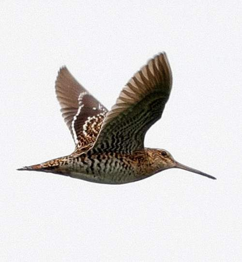 Birds of India - Photo of Great snipe - Gallinago media
