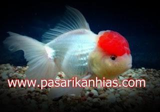 Ikan hias Mas Koki Sakura