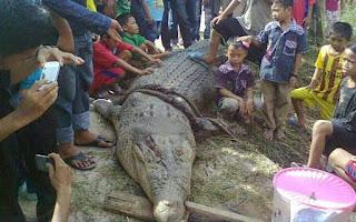 Buaya Terbesar Di Indonesia