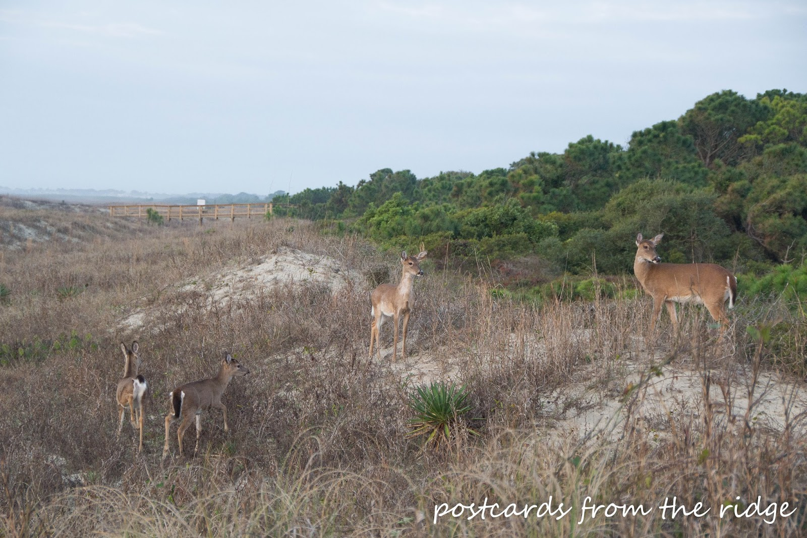 Deer grazing on the dunes at Kiawah Island, SC. Postcards from the Ridge.