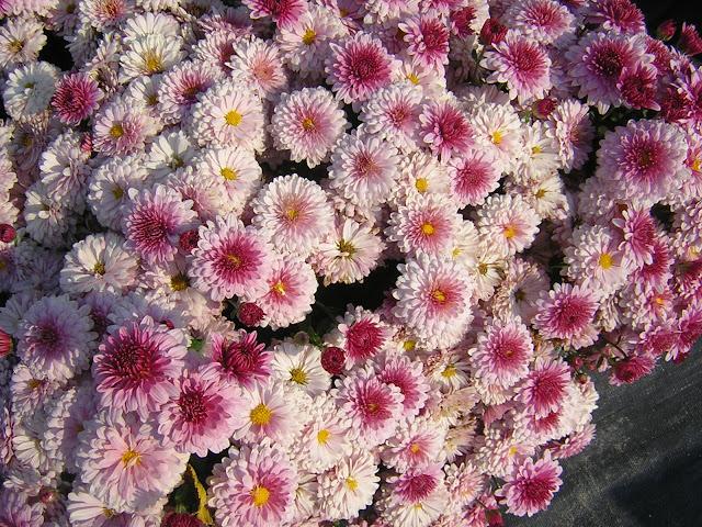 Rook S Nest Chrysanthemums