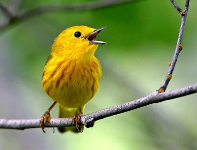 Yellow Warbler (Dendroica petechia) America - Ryan Maigan