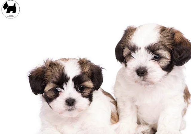 Cutest Dog Breeds, Best Dog, maltese Shih Tzu Dog puppies