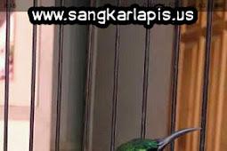 Cara Menjinakan Burung Kolibri Ninja Dalam Waktu Singkat