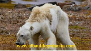Oso Polar agoniza de Hambre por CALENTAMIENTO GLOBAL