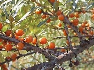 Ιπποφαές: Το μαγικό φυτό του Μεγάλου Αλεξάνδρου!!