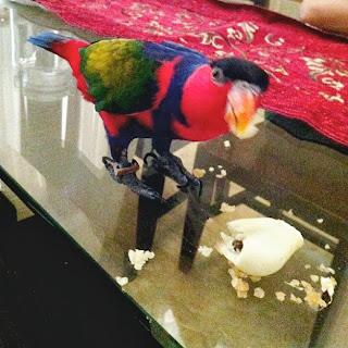 Nuri dan Cara Menjinakkan Burung Nuri  Nuri dan Cara Menjinakkan Burung Nuri