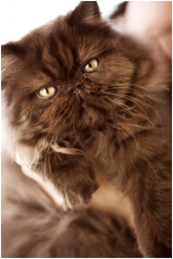 Persian cats breed: July 2013
