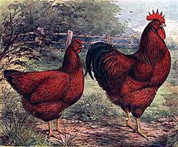 Buy Rhode Island Red Rooster